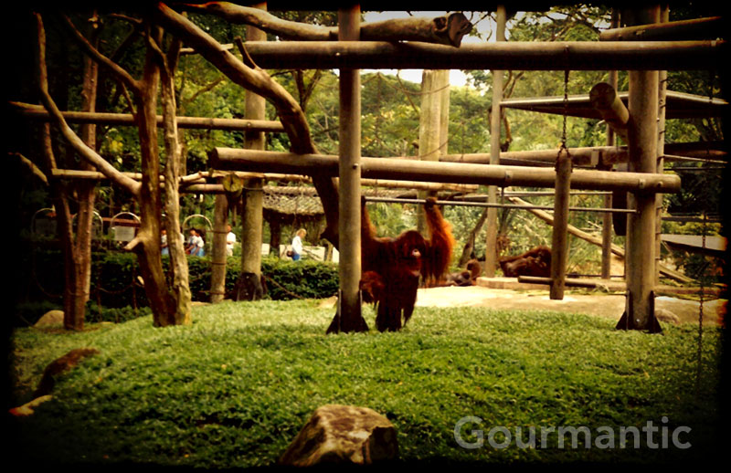 Singapore Zoo - Breakfast with Orangutan