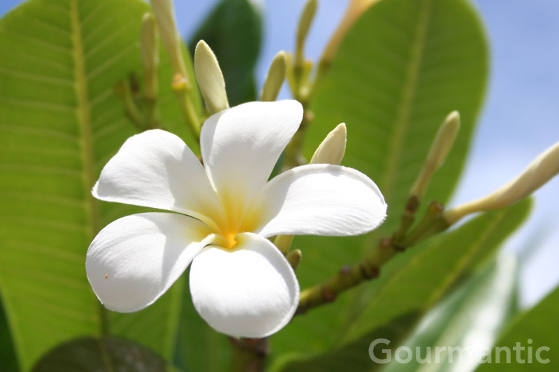 description tahiti tropical flower - photo #31