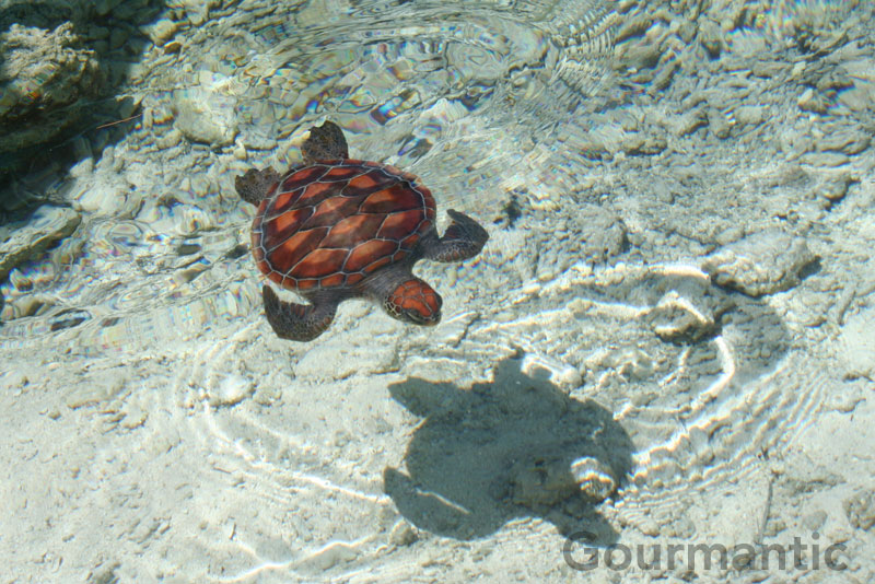 Turtles at Le Meridien Bora Bora