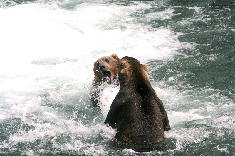 Brown-Bears-fighting-for-fishing-spot